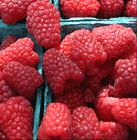 red raspberries Raspberry nutrition facts  Wonderfully delicious, bright red-colored raspberry is among the most popular berries grown all over the world. They are rich source of health promoting plant-derived nutrients, minerals, and vitamins that are essential for optimum health.