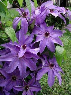 Climbing Clematis, Clematis Plants, Clematis Flower, Clematis Vine, Climbing Vines, Blue Clematis, Flowers Nature, Exotic Flowers, Amazing Flowers