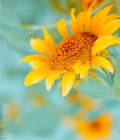 Sunflower on Aqua Yellow Turquoise, Blue Yellow, Aqua, Sunflower Garden, Sunflower Art, Sunflower Fields, Yellow Sunflower, Mellow Yellow, Summer Colors