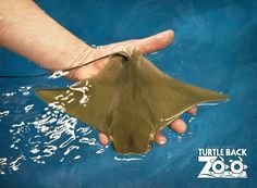 bat ray in freshwater - Google Search