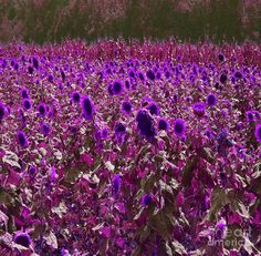 purple sunflowers - Google Search