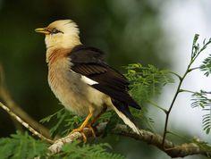 Vinous-brested Starling | by gary1844 Starling, Thrasher, Blue Jay, Bird Watching, Beautiful Birds, Pet Birds, Thailand, Wildlife, Board