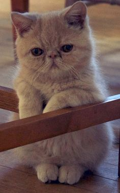 Kitten exotic shorthair - Tap the link now to see all of our cool cat collections! Cute Little Kittens, Kittens Cutest, Cute Cats, Kittens And Puppies, Cats And Kittens, I Love Cats, Crazy Cats, Baby Animals, Cute Animals