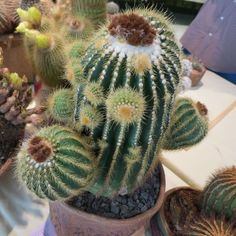I visited a plant show last weekend that I not previously been to, and was pleasantly surprised what a nice show it was... in Los Angeles in a pretty nice neighborhood... and lots of plants I had not seen in the previous shows in this area (after a while you begin to recognize the same old plants ov...