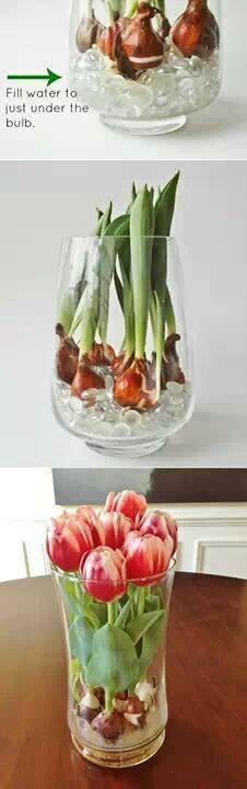 Bring spring indoors by placing plant bulbs in a vase over glass beads. Fill with water to the top of beads and watch tulips grow.