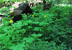 Ogród Na Końcu Świata: Coeli Donum - Dar Niebios... Herbs, Plants, Food, Herbal Medicine, Essen, Herb, Meals, Plant, Yemek