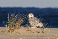 Jersey Shore - Sandy Hook, New Jersey USA (Snowy Owl)