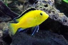 This is an electric yellow chiclid. One of my favorite fish. I have a few in my tank