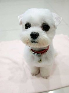 maltese puppy cut - I like this! My poor maltese mix is always getting stuff stuck to his face and ears. I think a cut like this would help him.