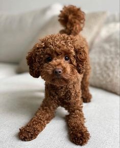 Mini Poodle Puppy, Poodle Mix Puppies, Mini Poodles, Tiny Puppies, Schnauzer Puppy, Cute Dogs And Puppies, Bear Puppy, Teddy Bear Puppies, Doggies