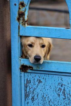 Portrait eines Hundes hinter einem blauen Tür