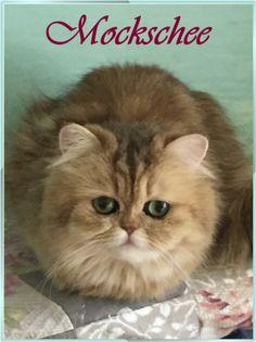 Mockschee Deutsch-Langhaar-Katzen in Gold und Silber! Wir können auf eine 20jährige Zuchterfahrung zurückblicken! Im Helsa am Grimmsteig haben wir uns der alten Rasse Deutsch-Langhaar-Katze zugewandt! Ernährungstipps,barfen,Gesundheitsberatung,Haltungstipps für Katzen,Katzenbabys werden fachkundig mit viel Sorgfalt und Liebe aufgezogen und sind an Hunde gewöhnt.