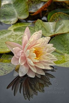Found on debsimonphotography.com waterlily