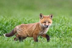 Red Fox Kit Wildlife Photography Fine Art Nature by RobsWildlife