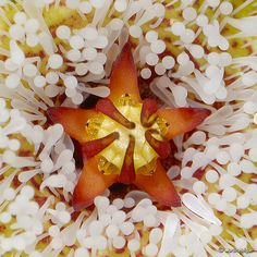 Stepeliad Flower from South Africa, Mega Machro photo.....Unbelievable!