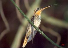 Beija-flor-rajado (Ramphodon naevius)