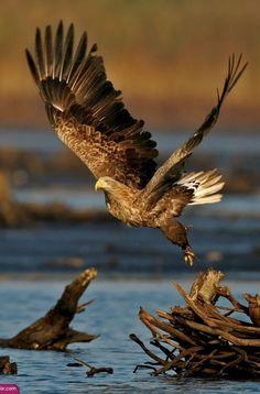 Flying Bald Golden Eagle - 2015 California condor