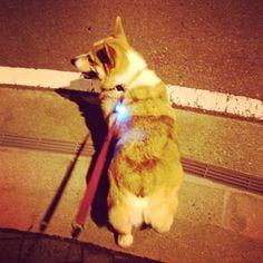 Walking! #dog #corgi