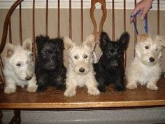 Scottish Terriers For Sale | Scottish Terrier Breeder