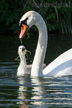 Schwanen-Familie an der Mangfall: Schwanen-Paar mit 2 Jungschwänen. Die Mutter taucht nach Futter für die Kleinen.