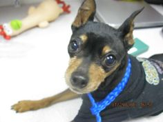 BLAZER-ID#A696305    My name is BLAZER.    I am a neutered male, black and tan Miniature Pinscher.    The shelter staff think I am about 8 years old.    I have been at the shelter since Jan 29, 2013.