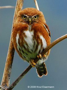 Guatemalan Pygmy Owl (Glaucidium cobanense). Photo by Knut Eisermann.