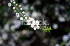The Manuka flower in bloom on a Tea Tree in soft focus. Manuka Oil, Tree Images, Kiwiana, Photo Tree, Medicinal Plants, Tea Tree Oil, Native Plants, Natural Health, Royalty Free Stock Photos