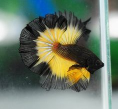 Some interesting betta fish facts. Betta fish are small fresh water fish that are part of the Osphronemidae family. Betta fish come in about 65 species too! Betta Aquarium, Freshwater Aquarium Fish, Betta Fish Types, Betta Fish Tank, Beta Fish, Pretty Fish, Beautiful Fish, Colorful Fish, Tropical Fish