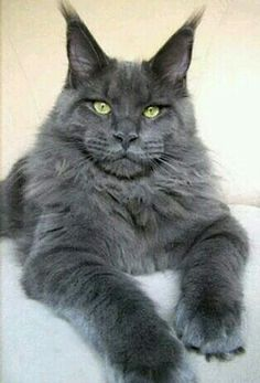 Maine coon, I just love those puffy cheeks