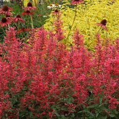 Kudos Coral Agastache Plants produce warm, upright spikes that are practically glowing with coral colored flowers. Blooms continuously from early summer until September. The fragrant foliage attracts butterflies, bees and hummingbirds. Best Perennials, Herbaceous Perennials, Monrovia Nursery, How To Attract Hummingbirds, Attracting Hummingbirds, Plant Catalogs, Border Plants, Coral, Sun And Water