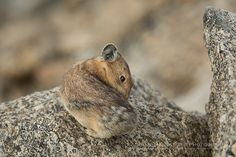 """American Pika (""""Florist Wanna-Be's"""")  on rock on Mt. Evans in Colo    Show Me Nature Photography"""