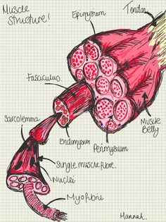 A place to find hints, tips and ask questions. : Basic Muscle Structure… EPIMYSIUM - A layer of...