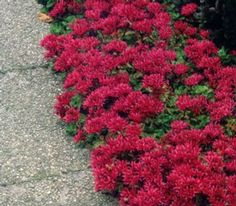 """Dragon's Blood Sedum:  Mature Height: 6-8"""" Mature Spread: 12-14"""" Exposure: Full Sun (6 hours is best) Flowering Time: Late Summer- Fall Soil Moisture: Low – Average, Well-Drained Soil Type: Widely Adaptable Perennial in Zones: 3-9"""