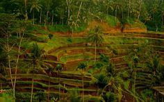 rice terraces, ubud,