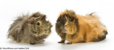 Guinea Pigs credited small