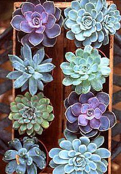 Rosette shaped succulents