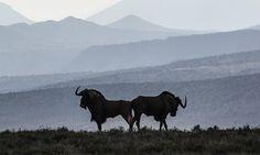 A brace of black wildebeest in the Camdeboo national park outside Graaff-Reinet