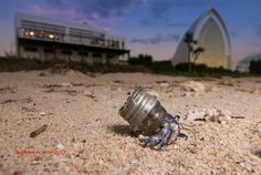 Instead of shells, these hermit crabs used plastic bottle caps and other trash. (Atlas Obscura, 9.6.16)