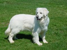 English Creme Retriever - I rescued one - they are the best!