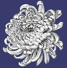 Illustration about Chrysanthemum. Illustration of beauty, florals, botany - 60805267 Chrysanthemum Drawing, Chrysanthemum Flower, Pencil Drawings Of Flowers, Realistic Pencil Drawings, Flower Tattoo Designs, Flower Tattoos, Bum Tattoo, Aster Tattoo, Japanese Flowers