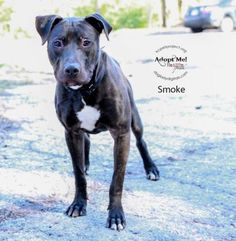 Smoke is a great 1 year old pit bull mix. He has a ton of energy and is hoping to find a patient home where he can burn energy running, walking, playing, or hiking. He is very friendly and would love to meet you! Come see him at KCPP today!