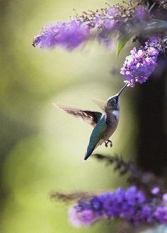 Hummingbird and butterfly bush