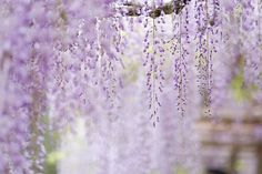 wisteria by ditao on Flickr.