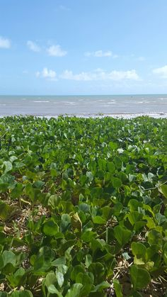Soja verde frente al mar