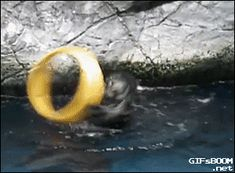 An otter plays with a toy