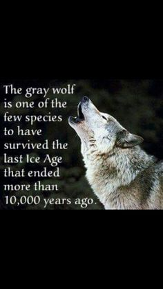 1093 best wolf sayings and wolf wisdom en wolves quotes