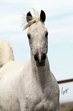 ARAHLIA  AREEF X RAHLIA  by AK RASUL  1993 Grey  AHR*493565  Has been bred to Ansata Nile Falcon for a 2014 foal.  $2500  PEDIGR...