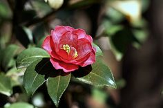 camellia - つばき