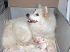American Eskimo is so cute. Love them so much. #AmericanEskimo #dogs