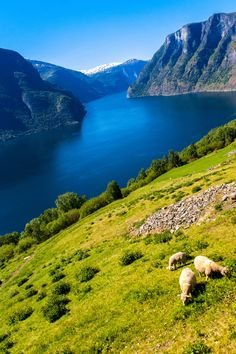 Grazing with a view - Aurland, Norway